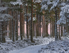 Winter Woodland Earthshadow, Glenferness Forest, Moray, Scotland, deep, inside, dense, snow, spattered, pine trees, path, clear, pink, red bark, trunks, glowing