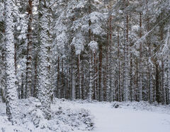 Winter Woodland Path, Glenferness Forest, Moray, Scotland, snow, spattered, trees, numbing, cold, freezer, Narnia, Snow Queen, sombre, trees, columns, silent