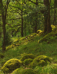 Mounds of vibrant green moss and mixed light and shade back light a mossy stand of ancient Sessile Oak trees in Ariundle's woodland at Ardnamurchan.