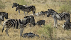 Zebra Crossing 2