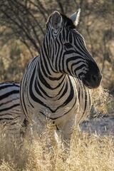 Zebra Grazing Etosha, Etosha, Namibia, Africa, gorgeous, group, zebra, roadside, sunrise, munched, grass, backlight