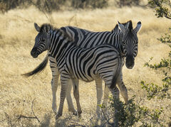 Zebra and Foal 2