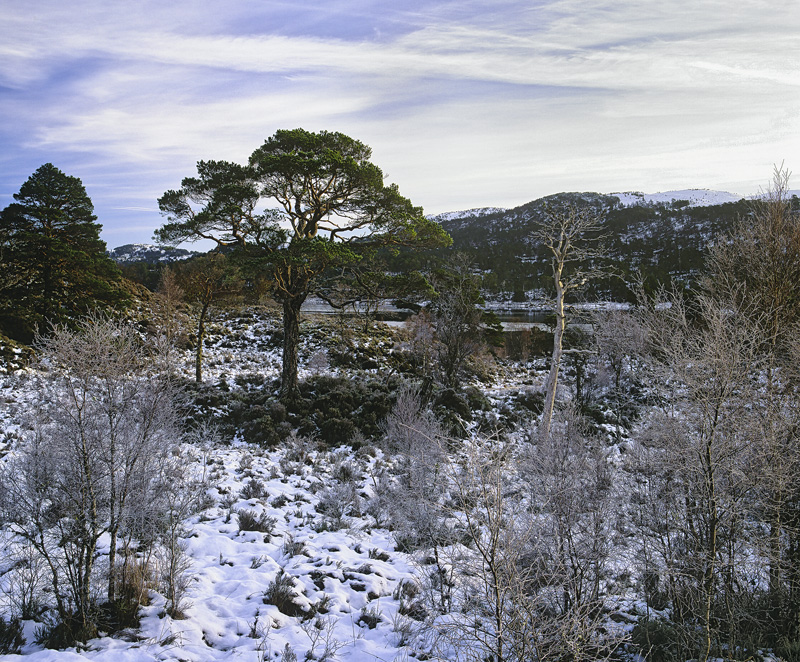 Affrican Pines, Glen Affric, Highlands, Scotland, access, woodland, birch, Scots pine, trees, naked, winter, snow photo