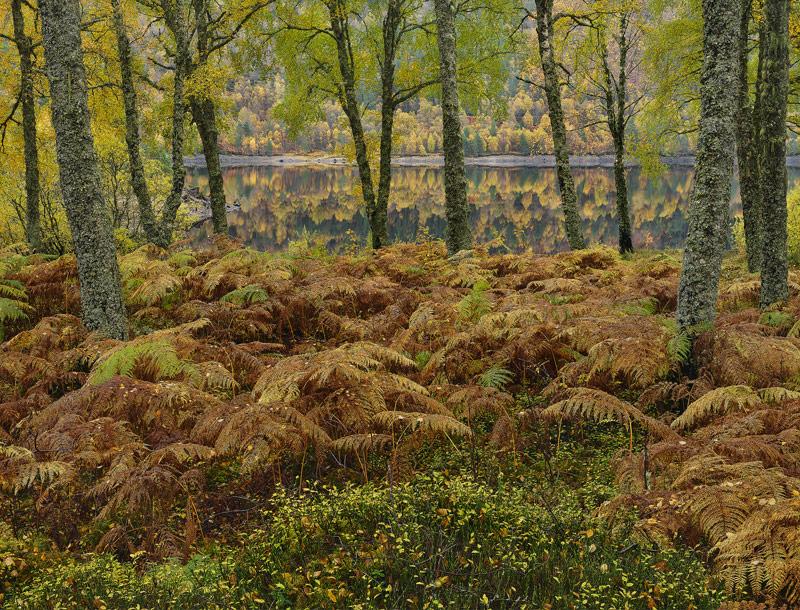 Autumn Parting Glen Affric, Glen Affric, Highlands, Scotland, curtain, birch, drizzled, gold, green, leaf, beautiful, be photo