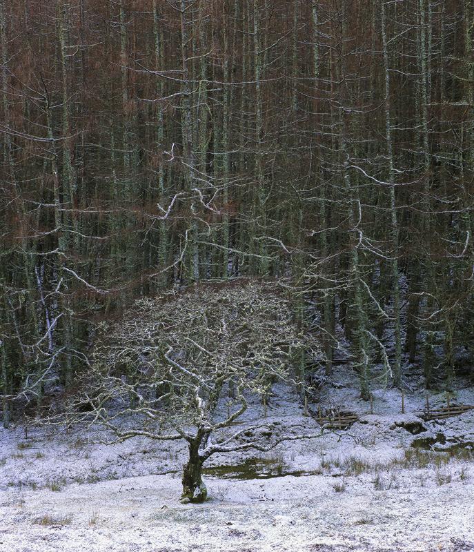 Breathing Space, Kinlochewe, Torridon, Scotland, Oak, tree, spherical, file, vertical, shape, lichen, snow, pine, twigs, photo