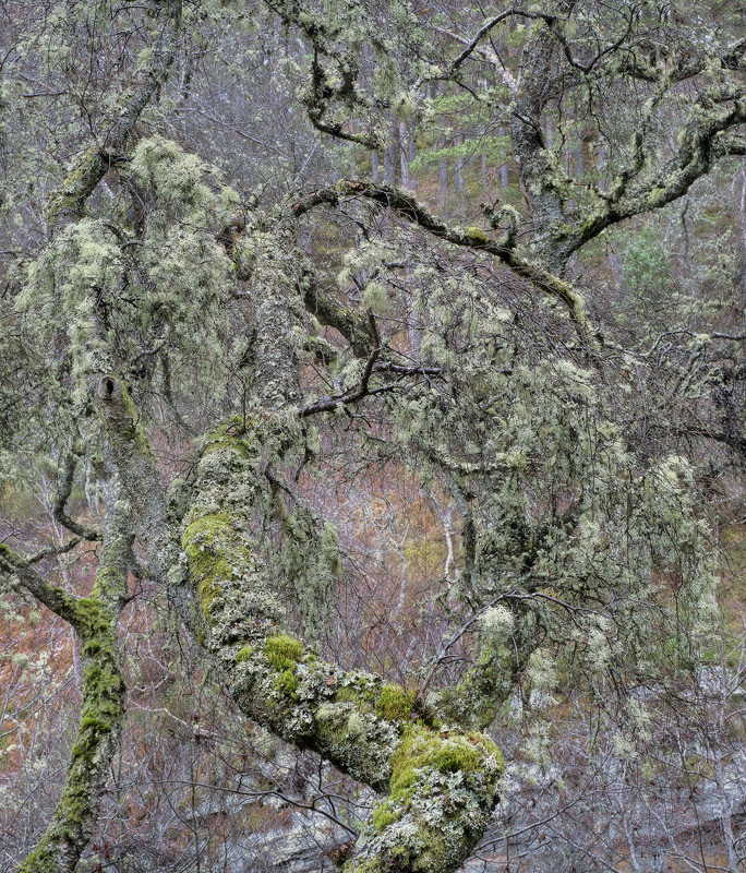 Colour Of Scotland, Feshie Bridge, Cairngorm, Scotland, mix, muted, purples, maroon, blush, powdery, green, birch, tree  photo