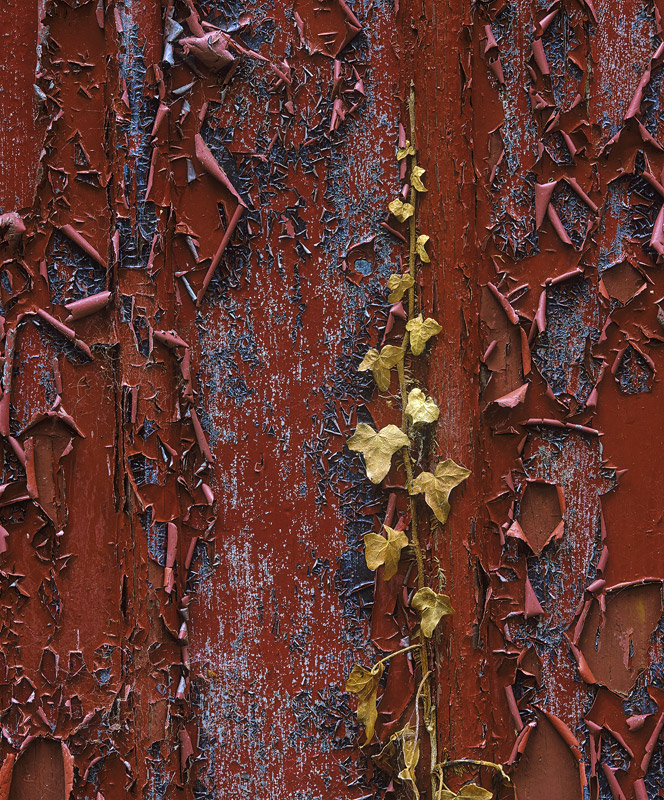 Decay, Forres, Moray, Scotland, Blairs Loch, boat shed, old, painted, red, blue, peeling, ivy, crispy, brown, died, fasc photo