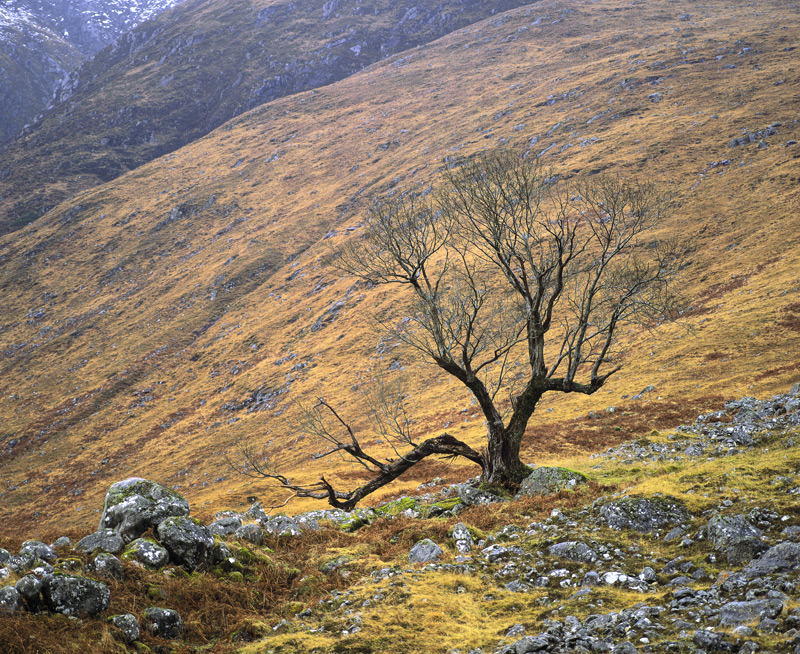 Whumping Willow Etive, Glen Etive, Highlands, Scotland, dark, macabre, angular, black, menace, tree, slopes, lonely photo