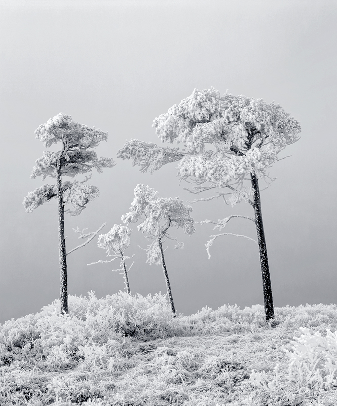 Family Tree Mono, Loch a Chroisg, Achnasheen, Scotland, trees, freezing, mist, family photo