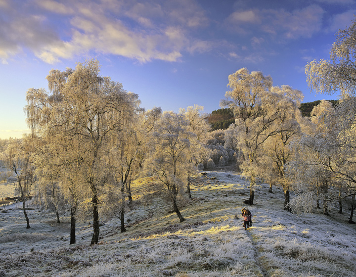 Frosted Gold, Lettoch, Spey Valley, Scotland, golden, sunlight, filtered, twigs, silver birch, gold, blue, sky, frosted photo