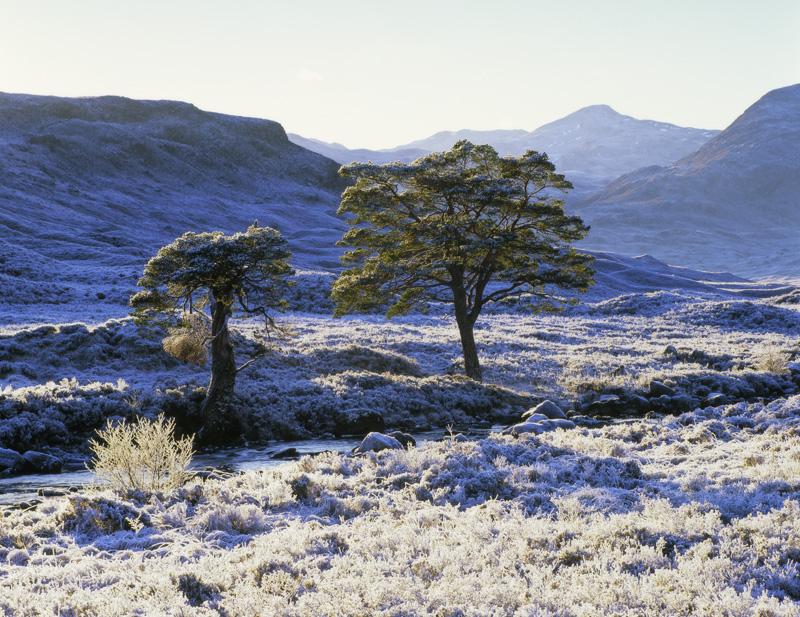 Jack Frost Torridon, Torridon, Highlands, Scotland, frost, branch, twig grass, icy, backlit, sunlight, scots pine, canop photo