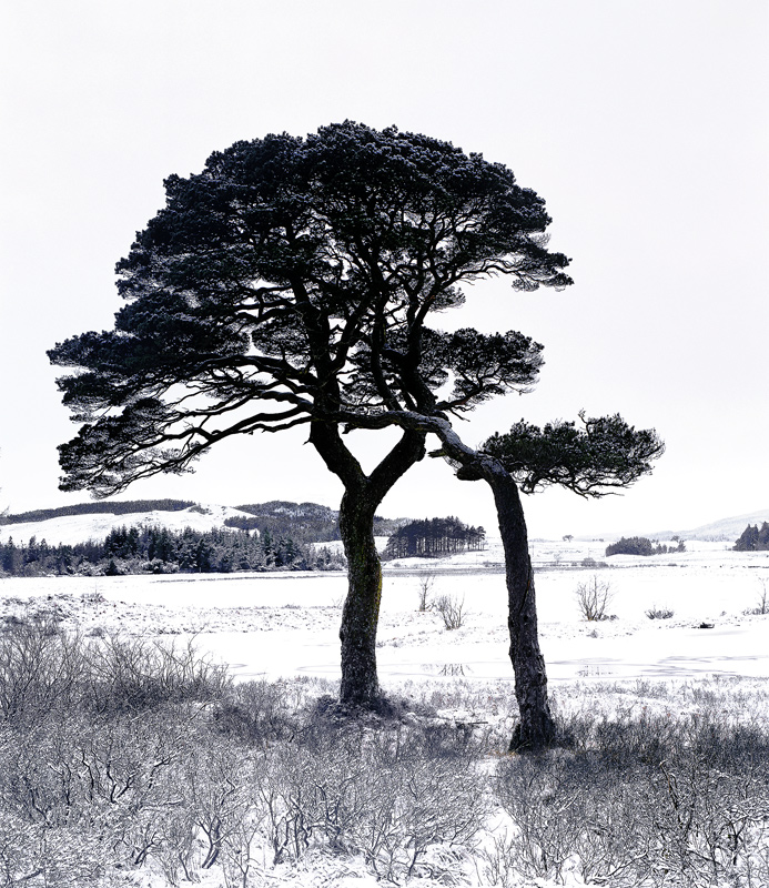 Lean On Me, Loch Tulla, Bridge of Orchy, Scotland, harsh, scots pine, support, tree, sibling, snow, winter, ice, wind photo