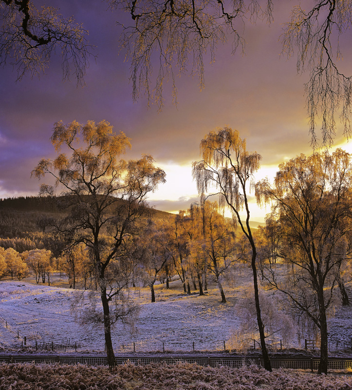 Lettoch Gold, Lettoch, Spey Valley, Scotland, winter, evening, frosted, birch, trees, rime, gold, dazzling, backlit  photo