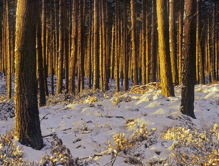 Lined With Gold, Forres, Moray, Scotland, dense, pine, forest, sterile, patterns, repeating, golden, stripe, snow  photo