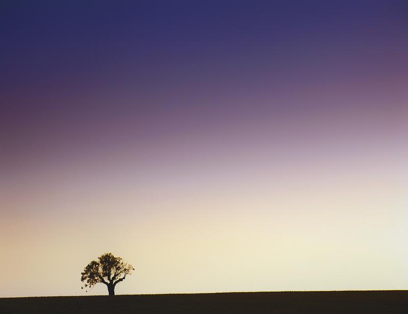 lonesome, oak, Valensole, Provence, France, shapely, hill, wheat, field, photo