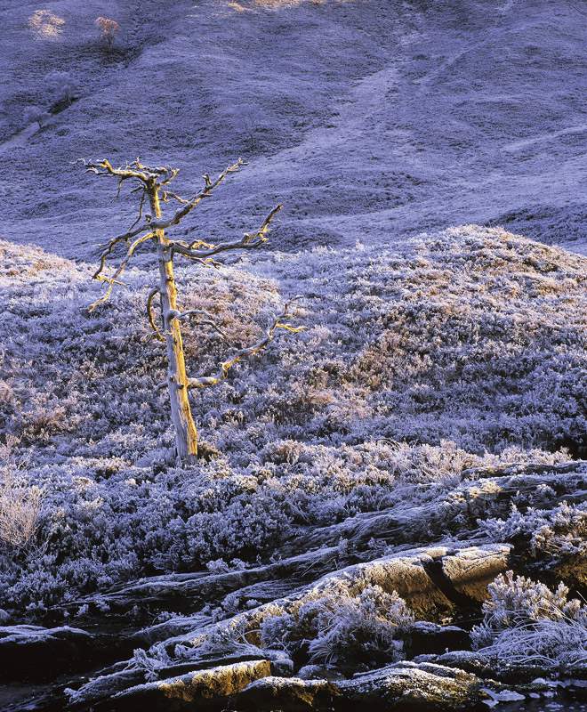 Marrowbone Chill, Torridon, Highlands, Scotland, butterscotch, dead, scots pine, chilled, icy, old, tree, freezing  photo