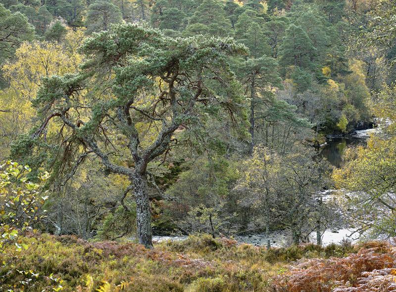 Native Woodland Strathfarrar, Strathfarrar, Highlands, Scotland, scots pine, birch, golden, canopy, tortured, twisted li photo