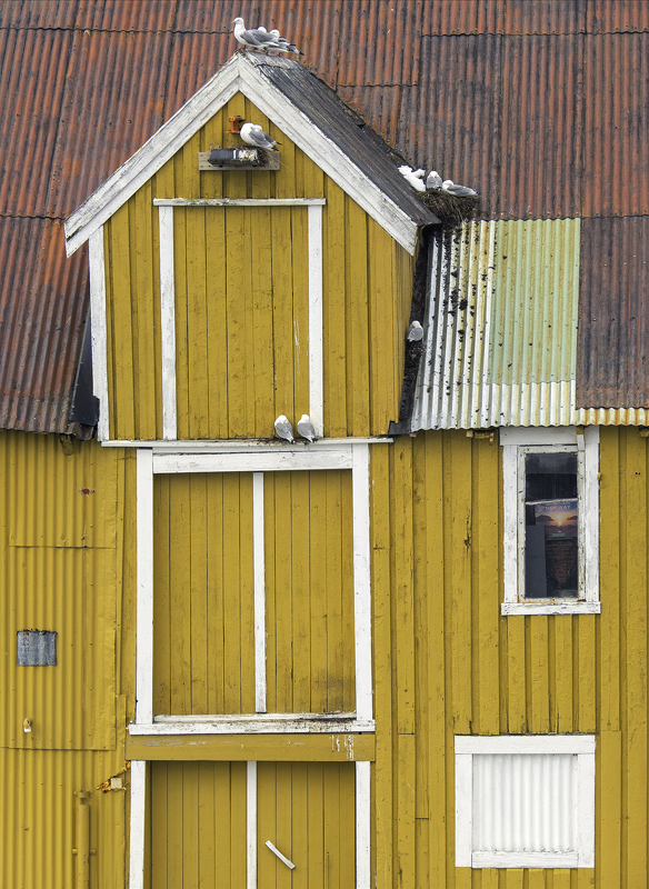 Nusfjord kittiwake, Nusfjord, Lofoten, Norway,coloured, houses, rorbrua, harbour, nest, seagull, refuge, nook, cranny  photo
