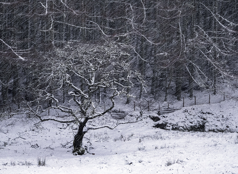 Oak in a Blizzard, Kinlochewe, Torridon, Scotland, larch, woodland, lines, spherical, separation, snow, mood, tree, regi photo