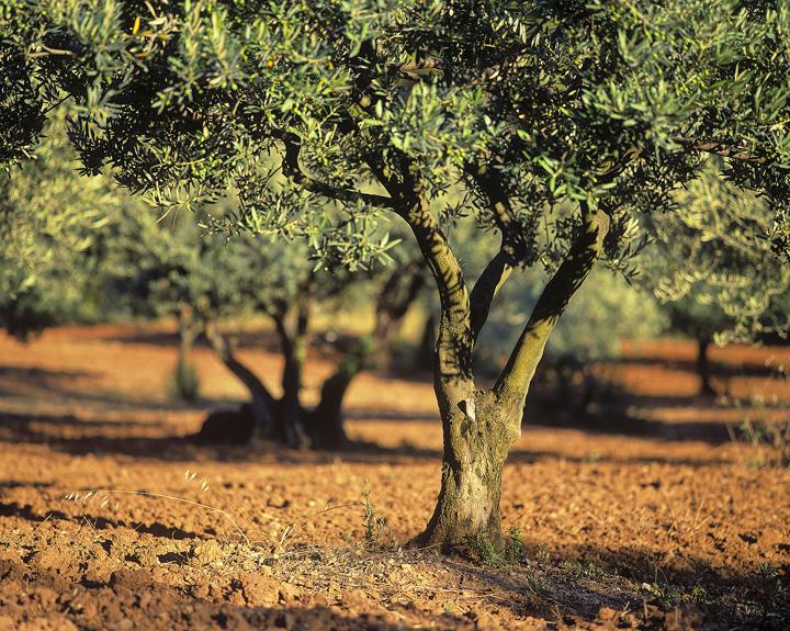 Olive Grove Aups Provence France Transient Light
