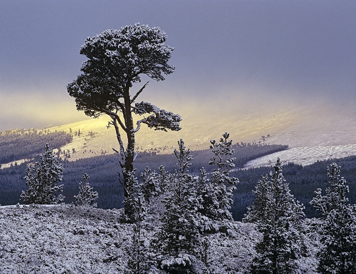 Outline Scots Pine, Aviemore, Cairngorm, Scotland, high, plateau, winter, snow, trees, Scots pine, sunlight, mist  photo