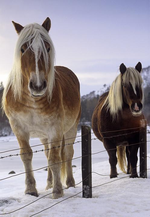Palamino, Loch Ness, Highlands, Scotland, winters, beautiful, horses, mane, blond, chestnut, horse, snow  photo