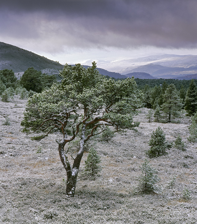 Peppermint Tree, Aviemore, Cairngorm, Scotland, mountain, resort, road, scots pine, gnarled, twisted, stunted, snow, spr photo