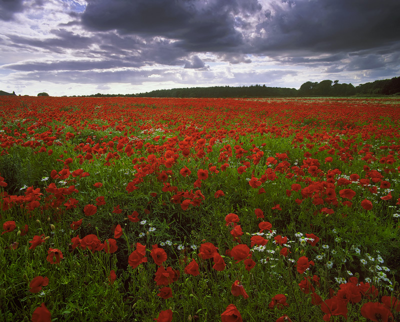 Poppy Plethora, Kilconquhar, Fife, Scotland, dazzling, display, poppies, daisies, heavy, grey, sky, vibrant, white,   photo