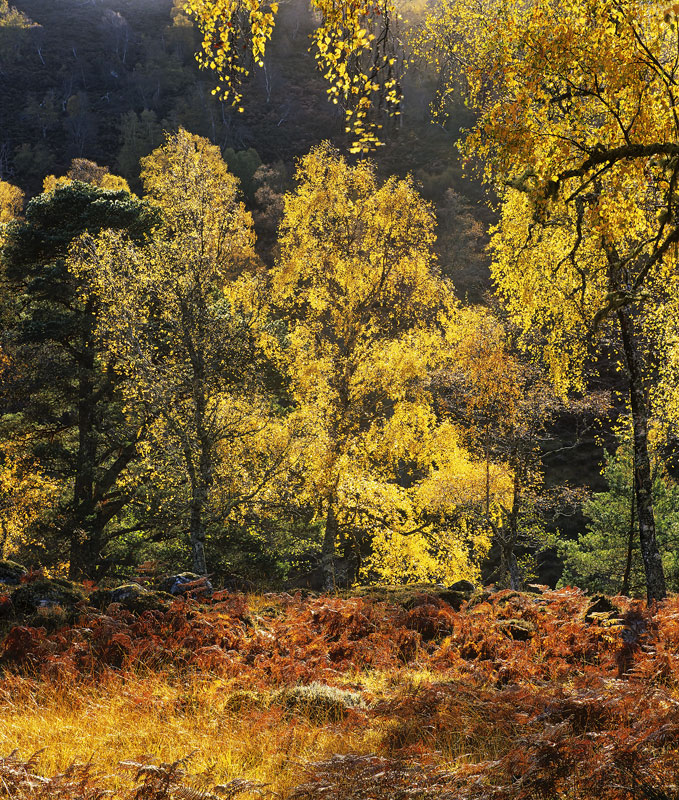 Razzle Dazzle, Strathfarrar, Highlands, Scotland, subtle, colour, light, autumn, golden, birch, pines, alder, backlighti photo