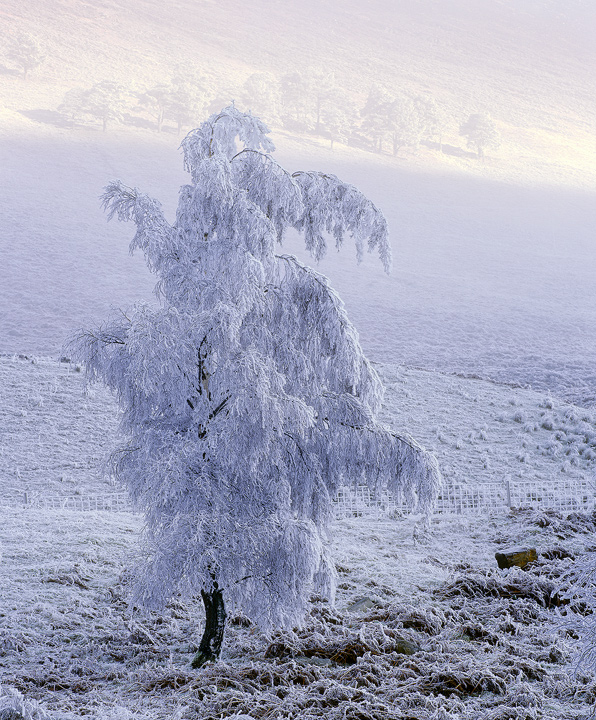 Refridgerated, Loch a Chroisg, Achnasheen, Scotland, cold, magical, thick, ice, frost, temperature, minus, winter, birch photo