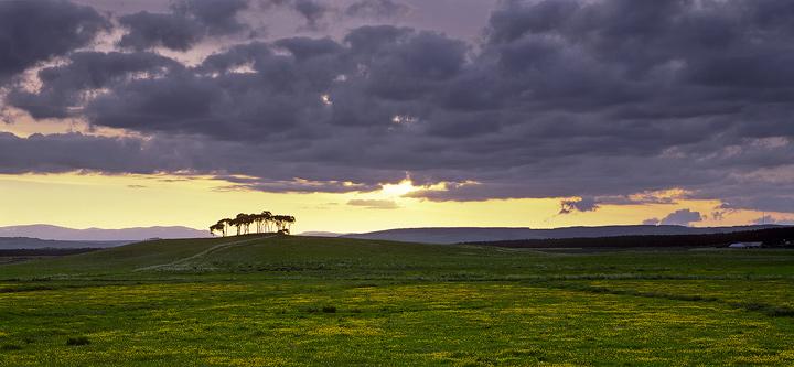 Resplendent Pine Grove, Nairn, Highlands, Scotland, tiny, group, scots pine, vast, open, coastal, summer, field, butterc photo