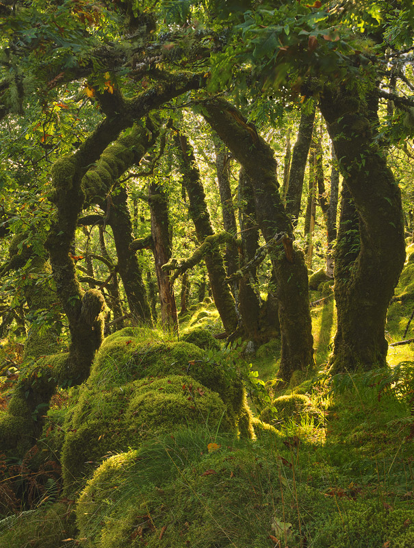 Sessile Oak Tangle, Ariundle Woods, Ardnamurchan, Scotland, life, scurry, birds, forest floor, woodland, oak, rich, moss photo