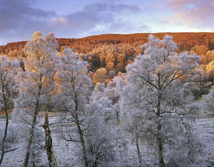 Spey Birch Copse, Lettoch, Spey Valley, Scotland, tree, silver birch, birch, delicate, tracery, hoar, frost, freezing photo