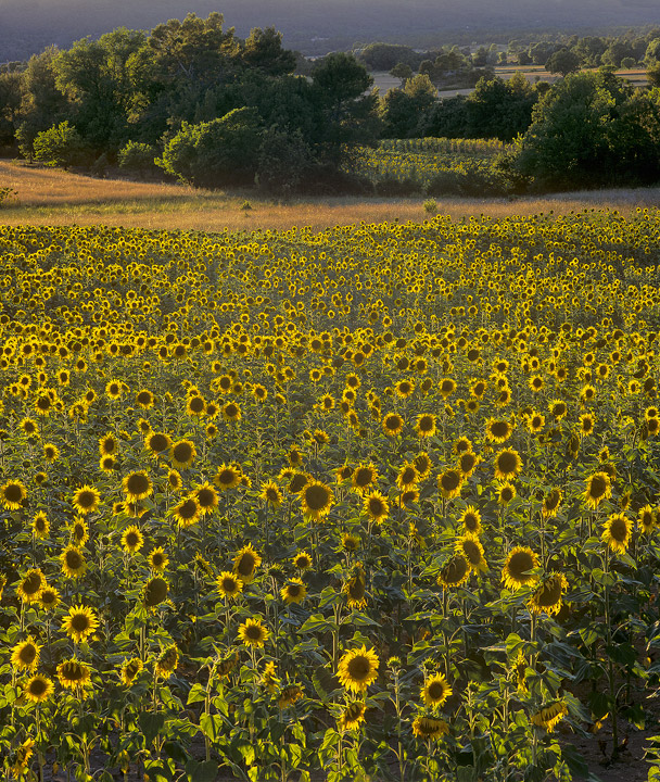 Sunny Side Up, Aups, Provence, France, fields, nodding, sunflowers, French, village, sun, crop photo