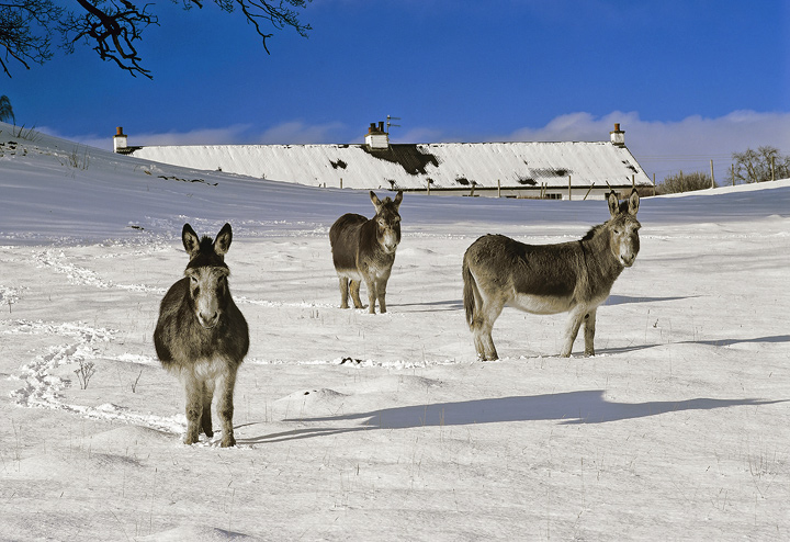 Three Amigos, Loch Pityoulish, Cairngorm, Scotland, winters, day, snow, field, loch, three, donkeys, standoff, attention photo