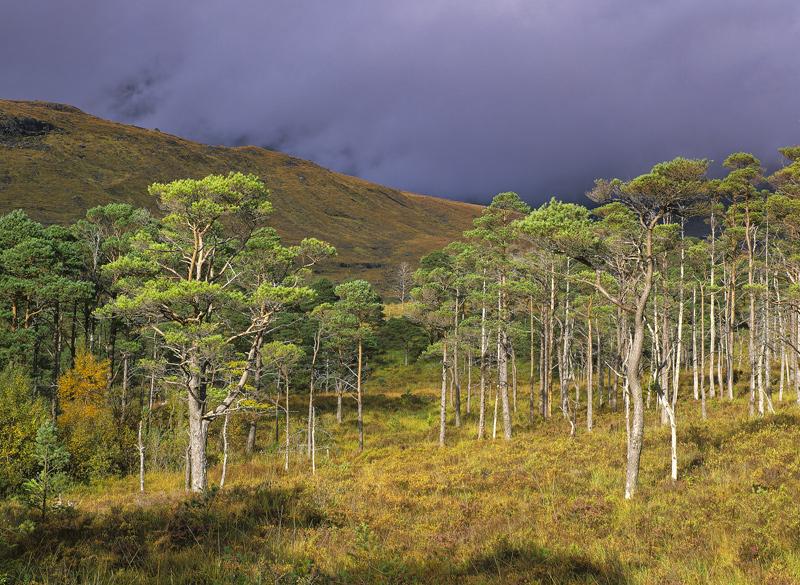 Torridon Pine Sunlight, Torridon, Highlands, Scotland, fleeting, transient light, brief, illumination, sunlit, scots pin photo
