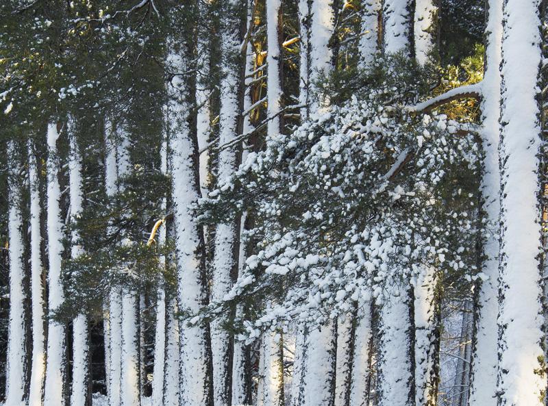 Winter Barricade 2, Grantown, Highlands, Scotland, dense, pine, woodland, snow, winter, tree, pillars, barcode, vertical photo