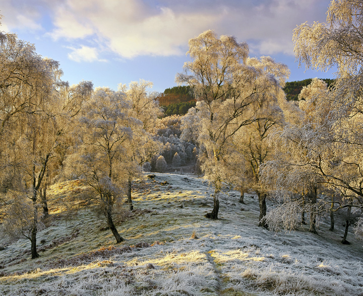Winter Gold, Lettoch, Spey Valley, Scotland, golden, cloak, silver birch, birch, trees, hoar, frost, sun, gold, coated   photo