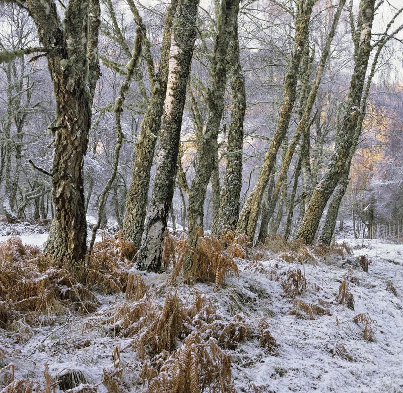 Winter Birch Grove, Loch Achilt, Strathconon, Scotland, birch, grove, snow, trunks, bracken, soft, hills, red, atmospher photo