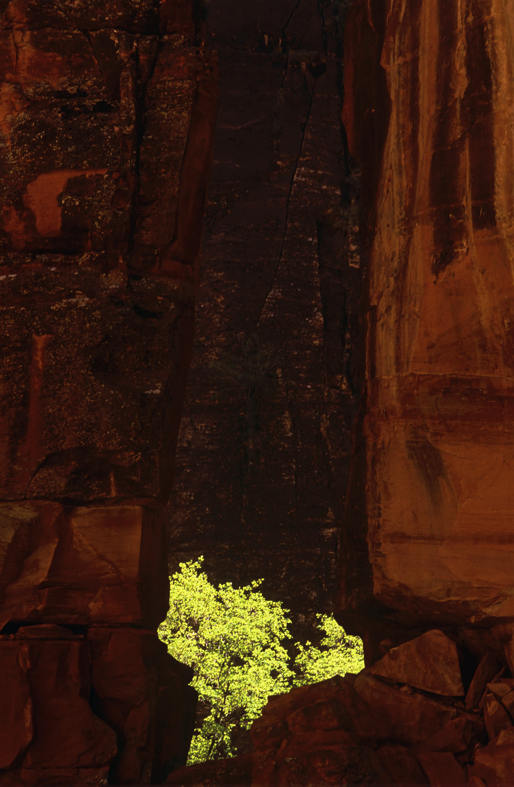 A vivid green backlit cottonwood tree amongst the red column bedrock of Zion NP. The juxtaposition of strong colours...