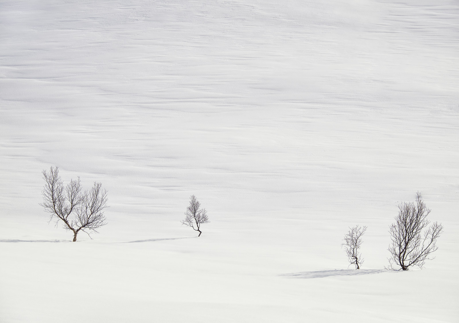 Art Of Snow 5, Anderdalen Nat Park, Senja, Norway, high key, mountainous, plateau, winter, purity, birch, trees, purity,, photo
