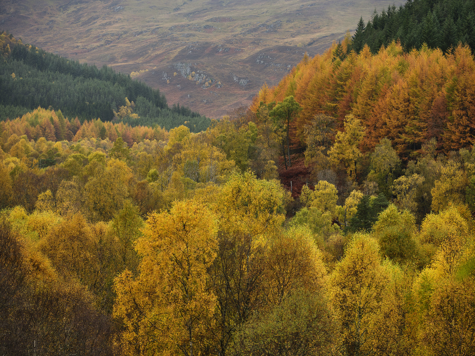 Autumn Canopy Cannich, Glen Cannich, Highlands, Scotland, birch, aspen, sycamore, gold, larch, spikes, autumn, colour, photo