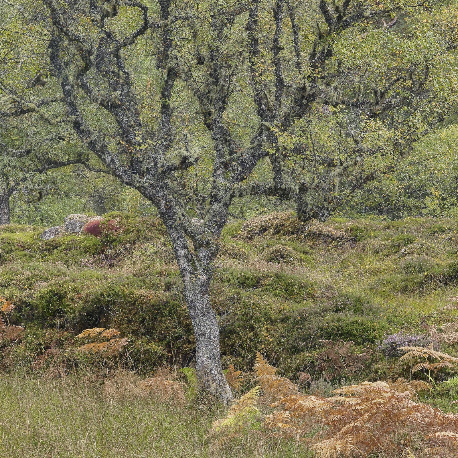 This gorgeous lichen covered birch tree stands in the Strathfarrar glen amongst freshly turned bracken, moss and a host of other...