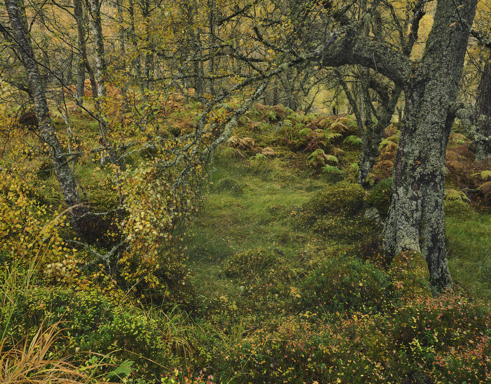 Autumnal Tangle Glen Affric, Glen Affric, Highlands, Scotland, chaotic, tangle, blaeberry, confetti, flakes, golden, bir, photo