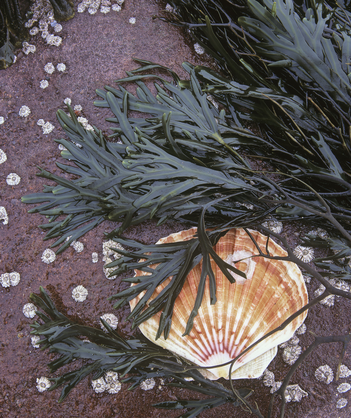I came a cross this complete scallop shell trapped beneath some seaweed on a barnacle patterned piece of Torridonian sandstone...