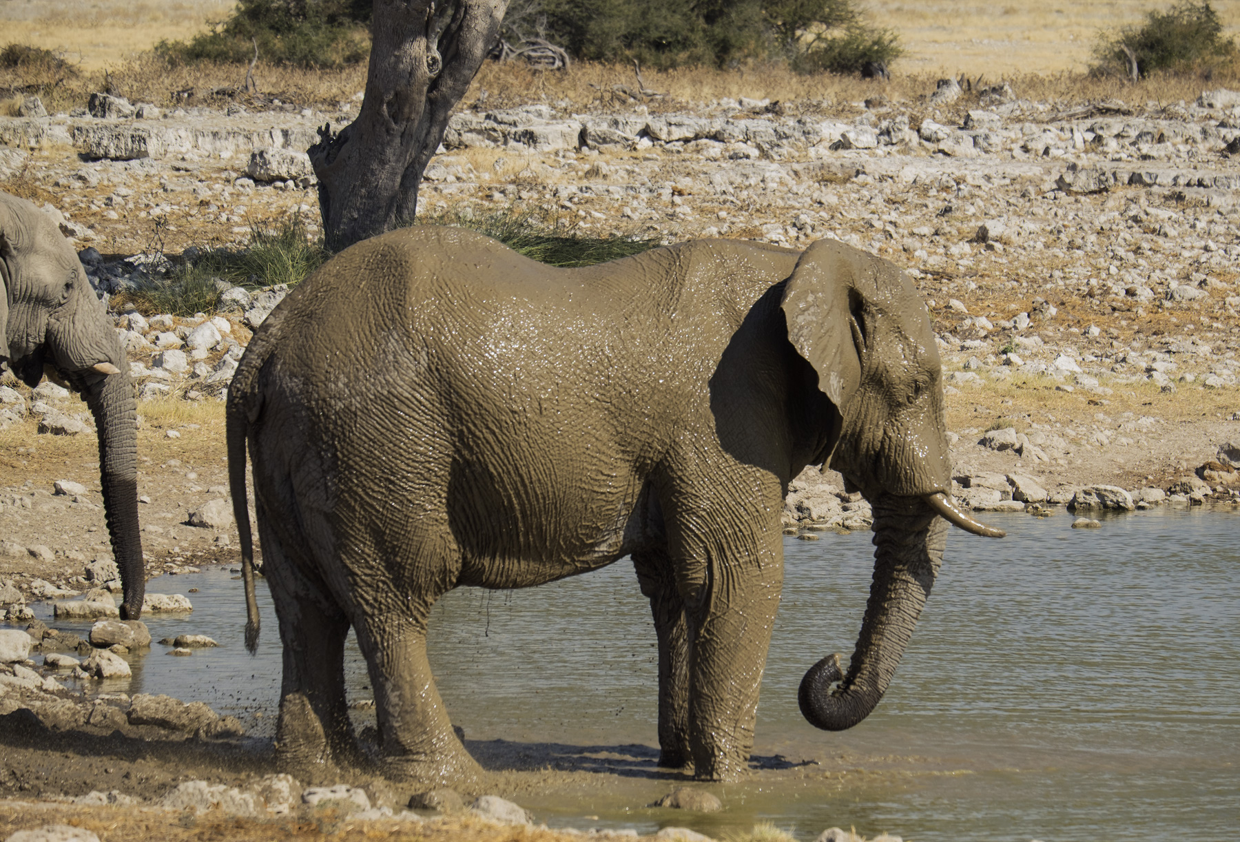 Bath Time, Etosha, Namibia, Africa, elephants, mud, coated, water, waterhole, hide, protection, sun, midday, photo