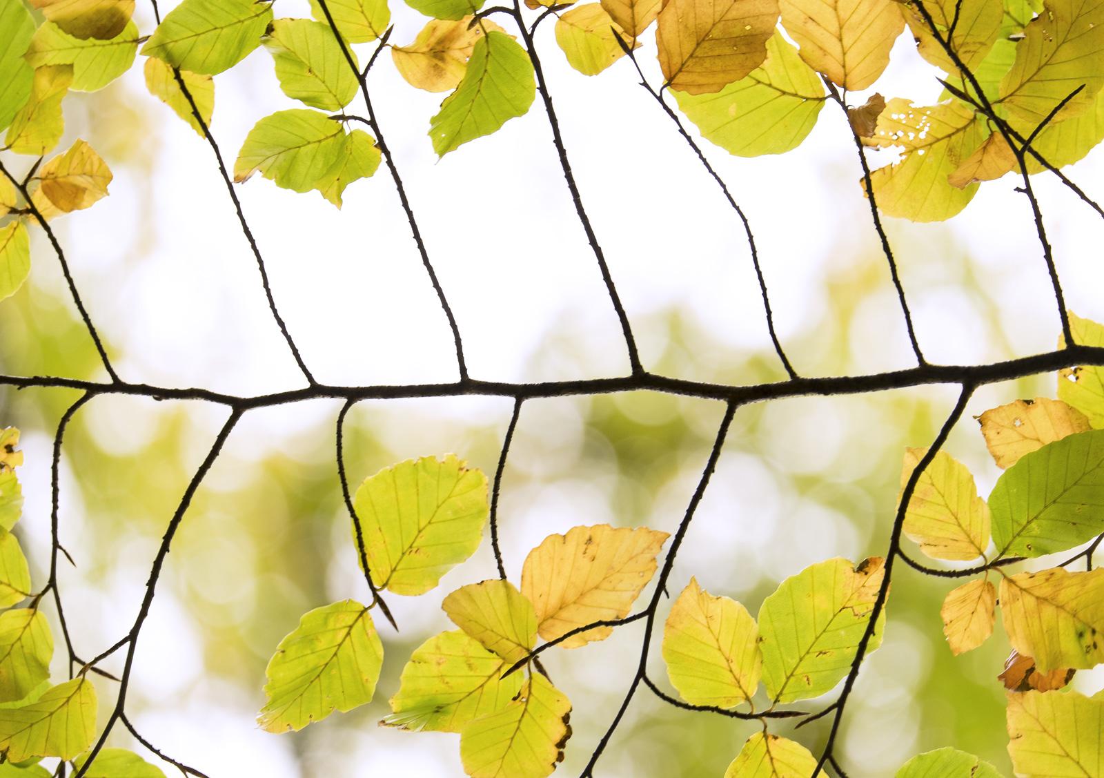 Beech Ladder 3, Glencoe, Highlands, Scotland, highlights, leaf, leaves, twigs, translucent, luminosity, ladder, skeletal, photo