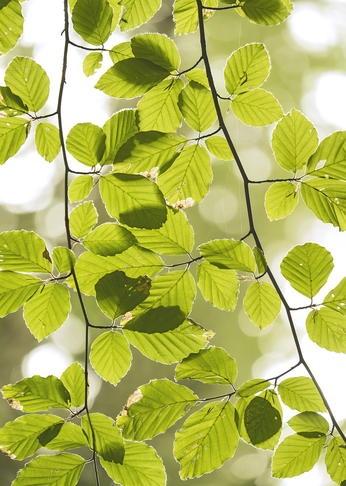 A dazzling collection of uber fresh spring green beech leaves backlit by a white sky to reveal the micro fine hairs around their...