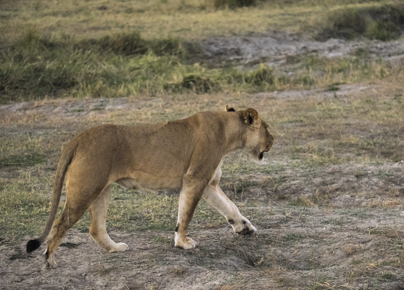 I have to be honest my only previous sighting of a lion left me distinctly unimpressed. That time it lounged on the ground...