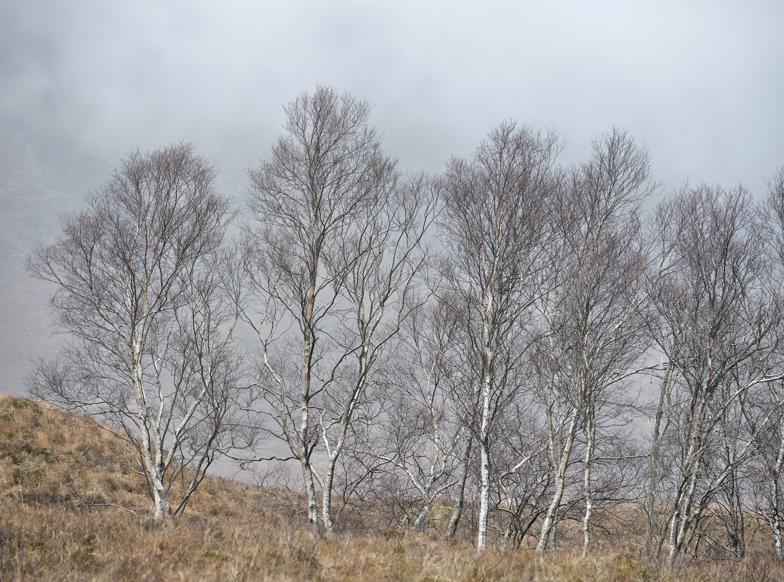 Birch Grove Glen Etive grove, spindly, birch, trees, spectacular, shrouded, swirling, mist, delicate, pastel, etched , photo